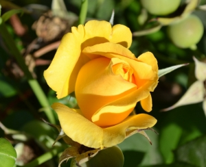 yellow rose of forgivenss